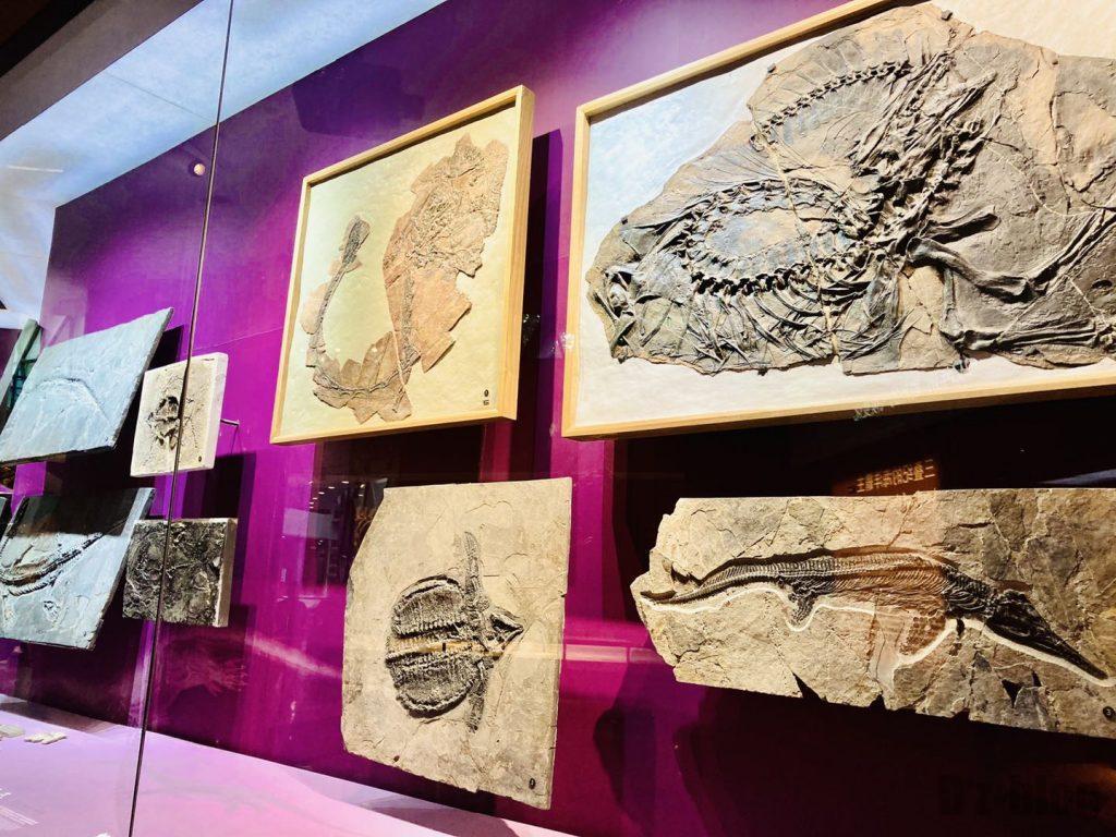 上海自然博物館小型恐竜化石