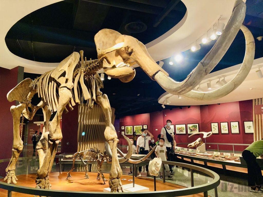 上海自然博物館大型牙像全身化石アップ