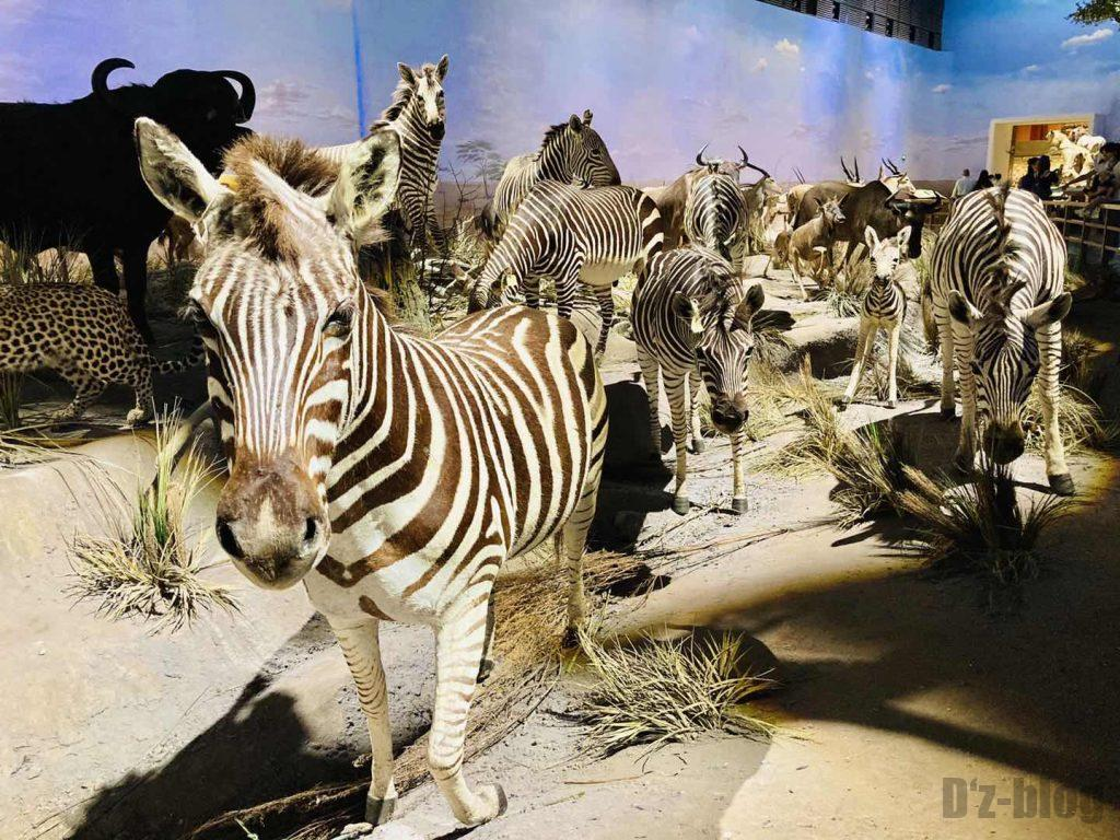 上海自然博物館しまうま