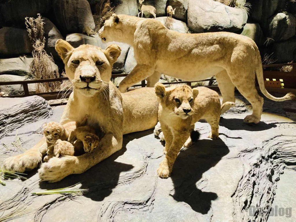 上海自然博物館ライオン家族