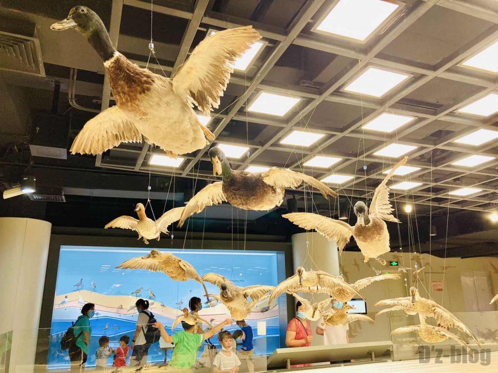 上海自然博物館カモはく製