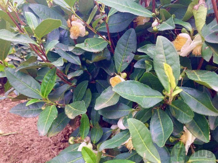 杭州龍井村お茶の花
