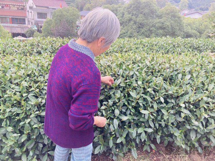 杭州龍井村お茶の葉を世話するおばあさん