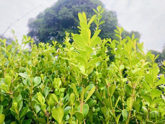 杭州龍井村お茶の葉