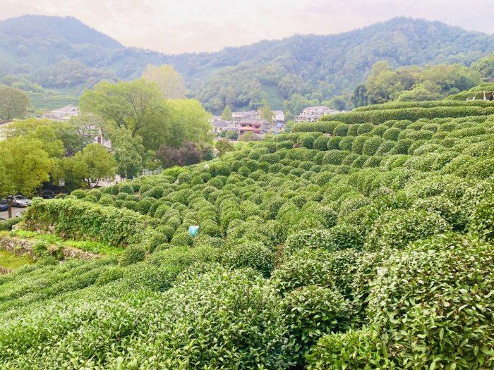 杭州龍井村お茶畑全体②