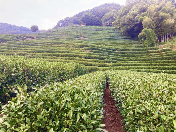 杭州龍井村お茶畑全体⑦