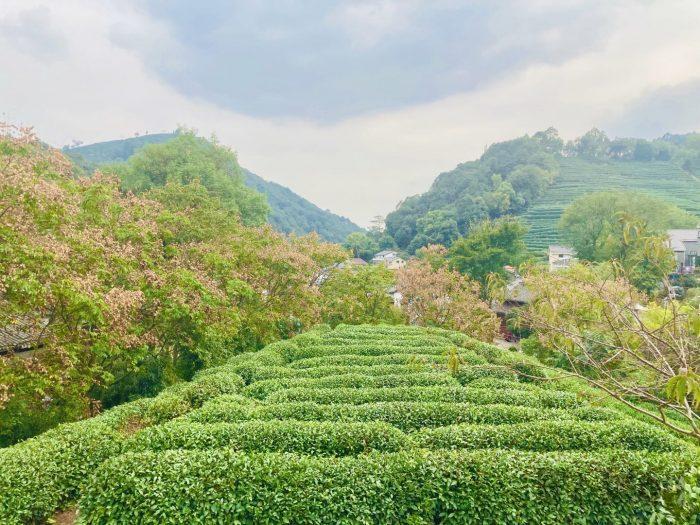 杭州龍井村上から見える茶畑②
