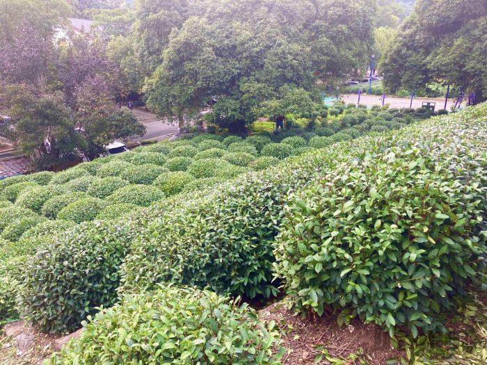 杭州龍井村上から見える茶畑③