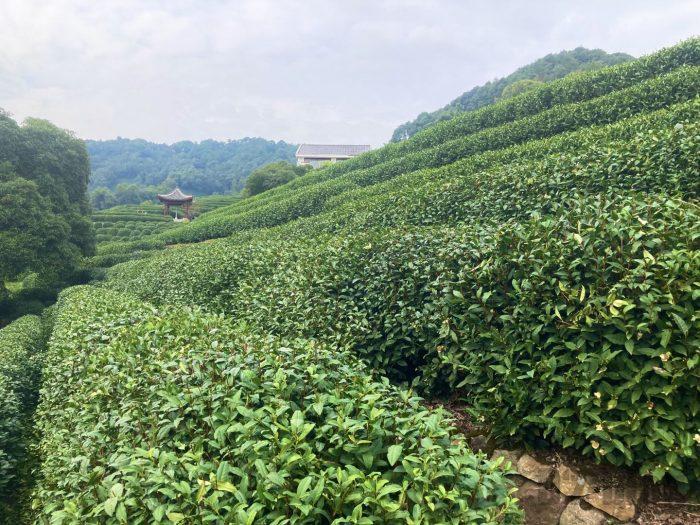 杭州龍井村上から見える茶畑④