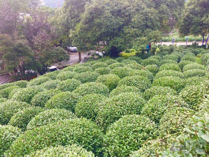 杭州龍井村上から見える茶畑⑤